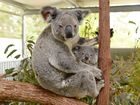 "FRIEND of the Koala president Lorraine Vass says the Northern Rivers could become a key climactic ""refuge"" for koalas"