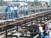 DALBY Saleyards were bursting at the seams with Wednesday with 7500 cattle, the biggest yarding this year.