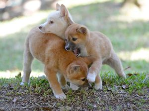 Adorable dingo pups pick Broncos for NRL grand final win
