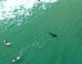 Great white shark spotted 'close enough to pat'