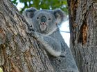 "RESIDENTS and environment groups have criticised Ipswich City Council's koala study as being ""all talk""."