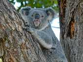 """RESIDENTS and environment groups have criticised Ipswich City Council's koala study as being """"all talk""""."""