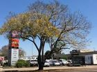 Jacaranda trees start to bloom