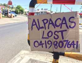 Family of alpacas lost, believed roaming streets of Lismore