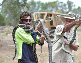 Three snakes weighing 20kg lived and mated in woman's roof