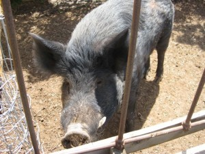 This little pig at a Meringandan West property was busted eating marijuana plants, and refused to give up his stash to police.