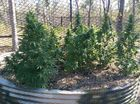 Detectives have arrested three men after the alleged discovery of a large cannabis crop at Lowmead, north of Bundaberg yesterday.