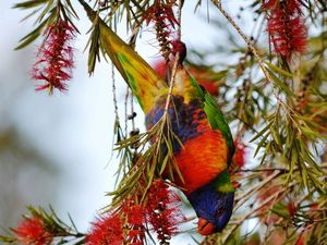 Jane Bodie captures a pickled Lorikeet in her back yard after too much nectar.