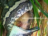 A SNAKE catcher who operates on the Darling Downs has snapped a horrible yet mesmerising series of photos of a snake eating a possum.