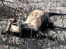 IT'S been described as a scene from hell where bloated corpses of wild goats floated downstream.
