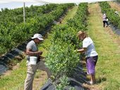 AN INVESTIGATION by the Fair Work Ombudsman has revealed the operators of blueberry farms at Sandy Beach underpaid their workers tens of thousands of dollars.