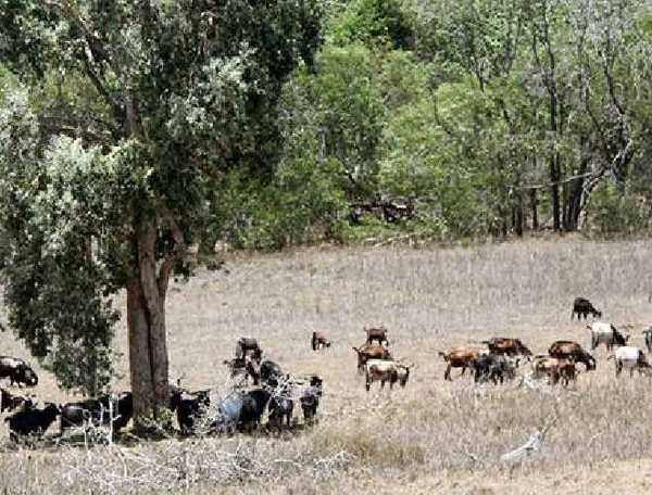 WILD GOATS: Stakeholders and Tower Holdings will meet on December 11 to talk about a pest management plan of the island and to create a solution to the issue of wild goats.