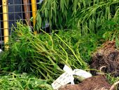 MORE  than 12,500 cannabis plants – have been seized throughout the Richmond Local Area Command over the course of the last three weeks.