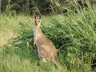Disturbing photos emerge of a chopped up kangaroo