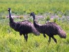 Bungawalbin Creek Catchment is one of the last remaining safe habitats for the Endangered North Coast Emu population.