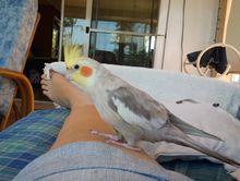 LOST BIRD  - COCKATIEL