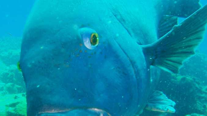 Diving with a friendly Blue Grouper at the Solitary Islands on the Coffs Coast. - User Contributed