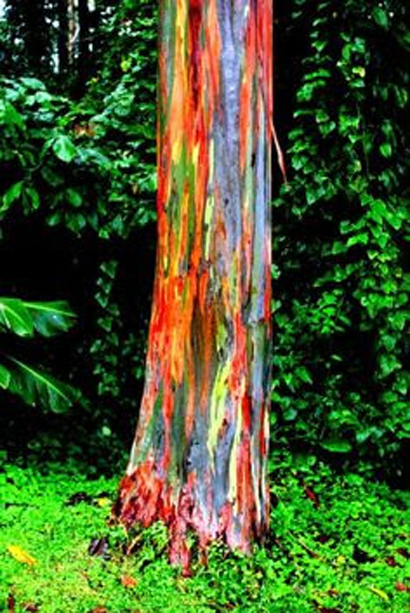 RAINBOW GUM TREES