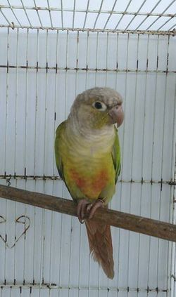 cinnamon split turquoise green cheek conure dna sexed male
