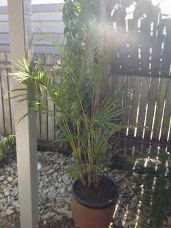 2 X Palm trees in medium pots