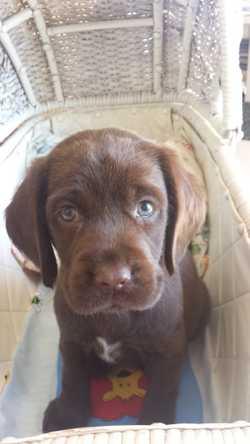5 beautiful chocolate spanador pups.  Dad Cocker Spaniel x Mum Labrador. Micro chipped, Wormed, Vacc...