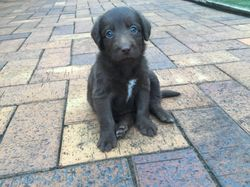 6 Groodle cross Australian Kelpie Puppies for sale. Beautiful groodle cross Australian kelpie puppie...