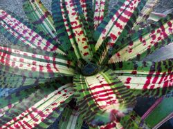 BROMELIAD SALE 100's to choose from. 101 Curran St, Booral. Sat, Sun 28th, 29th 7am start....