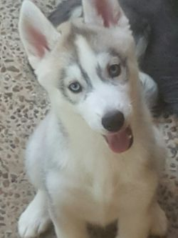 We have two pure bred siberian husky pups for sale, they are vaccinated, vet checked and micro chipp...