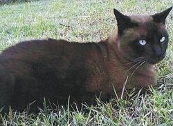 """$500 Reward For information resulting in the return of our missing Cat """"Cadbury"""" Dead o..."""