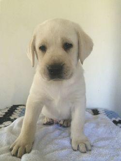 PUREBRED Labrador Puppies 1 golden girl, 2 black girls, 2 black boys.   Vet Checked, vacc, wo...