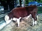 Poll Hereford Bull 2yo