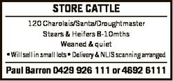 STORE CATTLE 120 Charolais/Santa/Droughtmaster Steers & Heifers 8-10mths Weaned & quiet * Wi...