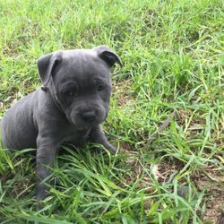 Microchipped, vaccinated, wormed and vet checked. Ready to go 3 boys, 3 girls No papers. Photos of p...
