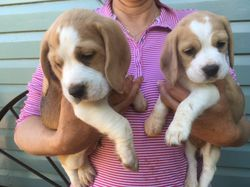 Purebred , tri-colour, 2 males , 2 females, M/C, vaccinated ,