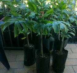 approx 1m high in 5lt poly plant bag $25 each Ph 41526411 or 0467858047