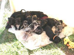 neo mastiff x catahoula. born 6/7 ready few weeks. Wil be vac & microchip. $600 neg