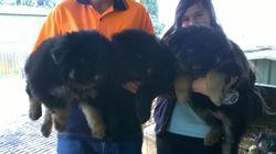 3 female purebred German shepherd pups. 2 black/tan  1 pure black Good soild pups. All are vet check...