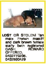 LOST OR STOLEN! Tan male French mastiff and dark brown female staffy both registered CASH REWARD OFF...
