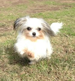 Papillon X Maltese pup for sale. One year old. Desexed, microchipped, fully vaccinated, vet checked...