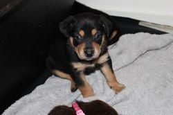 P'bred Kelpie Pups Black & Tan 2 F & 1 M, parents work cattle/sheep WKC reg, mic, vacs, papered. Ava...