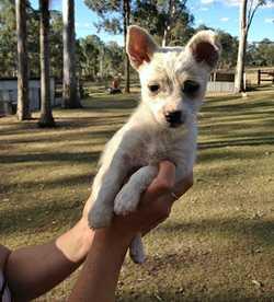 MINI Fox Terrier x Maltese 12 weeks old, female, microchipped, vet checked, cream & white