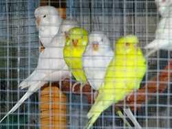 White and Yellow Budgies x 6