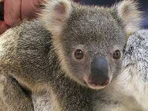 Joey survives after koala stomped on by cow