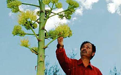 CQU Associate Professor Nanjappa Ashwath believes agave tequilana could be grown around Bundaberg.