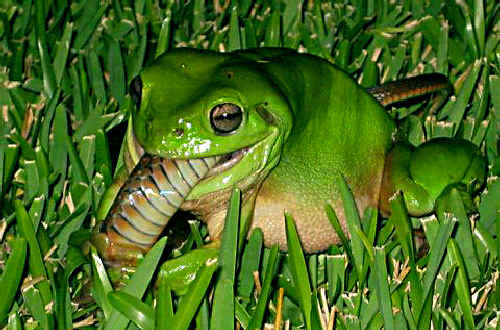 A Mackay man was surprised to find this green frog devouring what appeared to be a brown tree snake in his backyard.