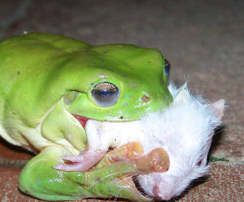 Aidhan's photo of a green tree frog eating a rat.