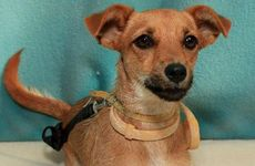 One-year-old Tazz is a fox terrier-cross-chihuahua and she would suit any home.