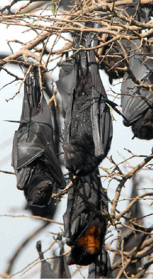 Department of Environment and Resource Management inspect the colonies of flying foxes in Warwick.