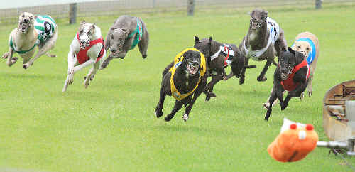 Greyhounds charge around the turn at Border Park Raceway, the track that Harry Pledger played a major role in establishing.