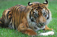 Juma the tiger.